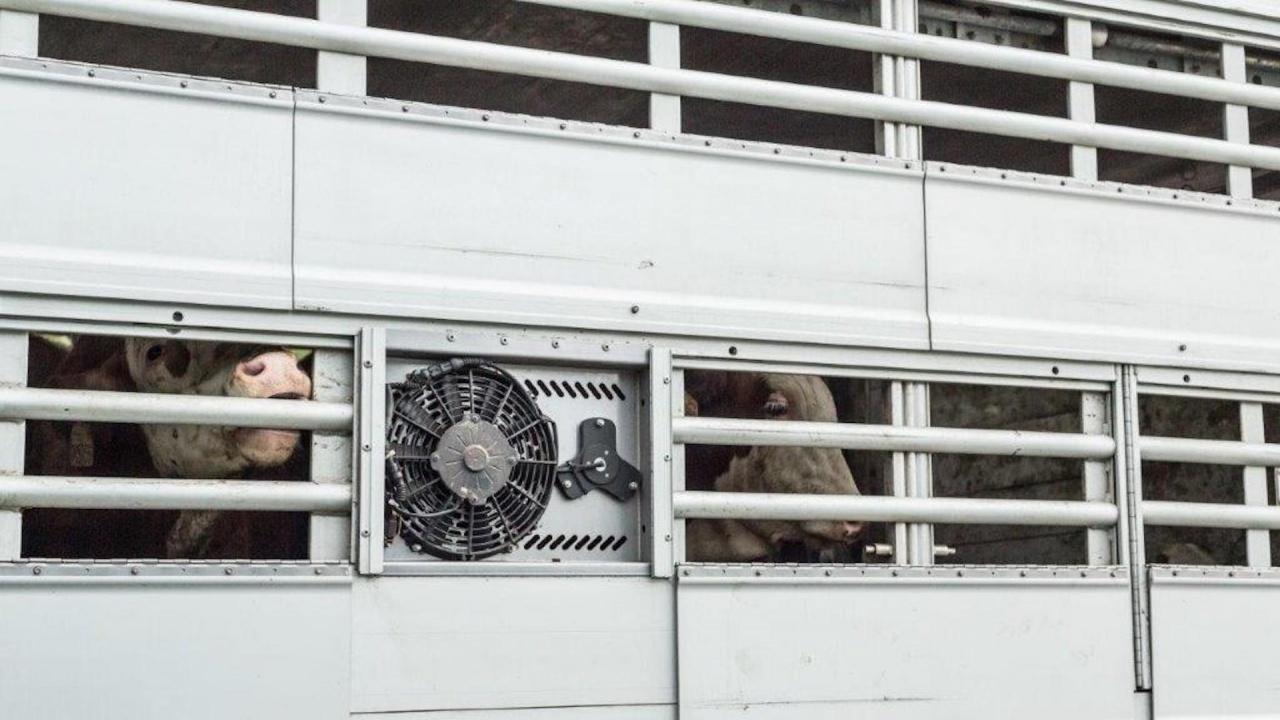 """""""Четири лапи"""":  Крави, телета и овце пътуват с часове през България в жегите без  възможност да пият вода"""