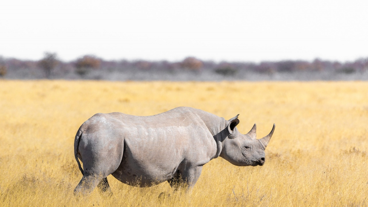 Учени създадоха 12 ембриона на северен бял носорог