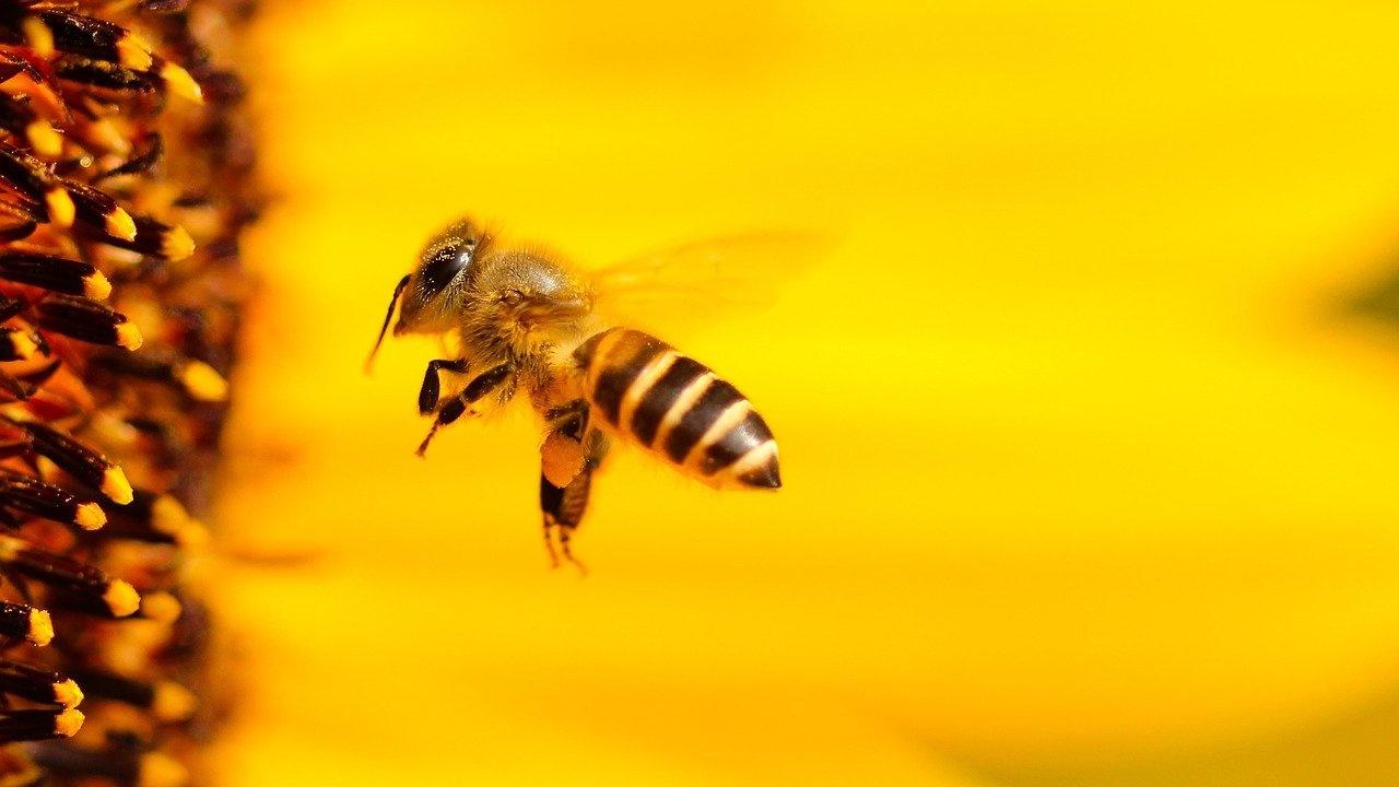 Заплахата за пчелите от пестицидите е подценявана