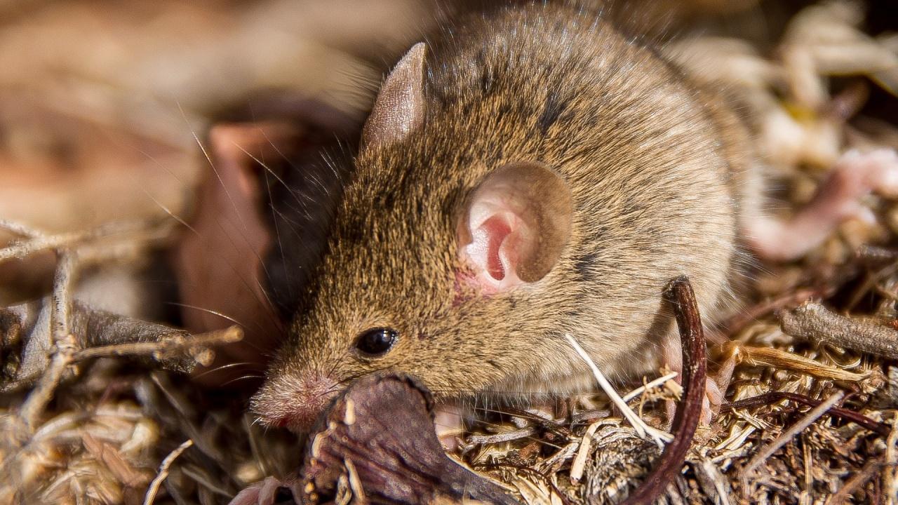 Торбеста мишка със склонност към самоубийство оцеляла при пожарите в Австралия