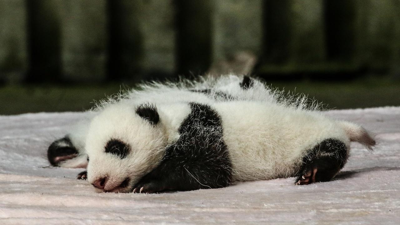 Панда се роди в зоопарк в Сингапур след изкуствено осеменяване на майката