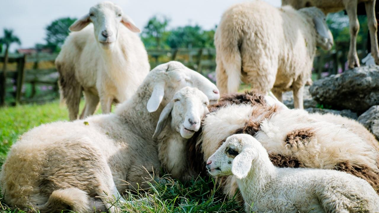 Фермер почете покойната си леля със сърце от овчици