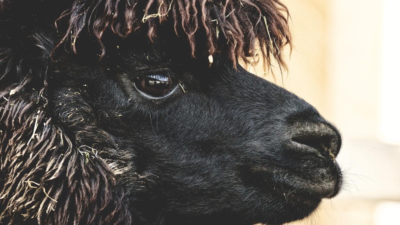 Евтаназираха алпака, болна от туберкулоза, след решение на съда