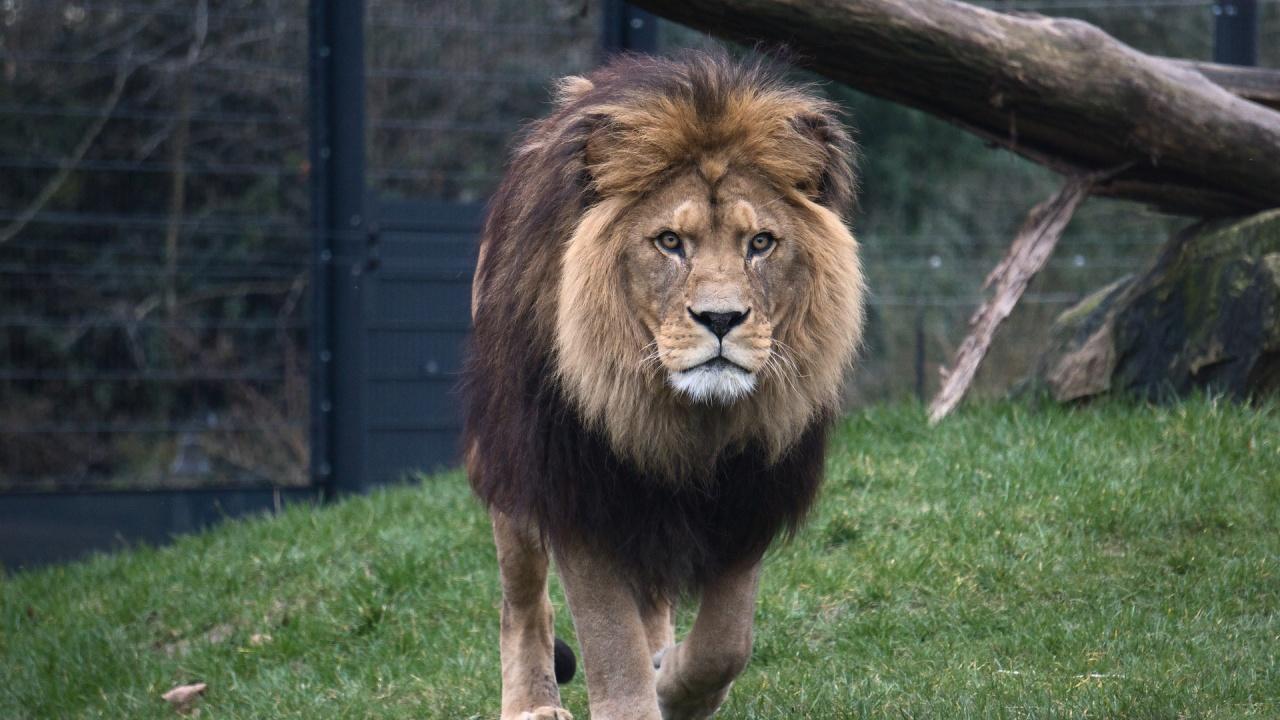 Африканският лъв от столичния зоопарк е подложен на пълен профилактичен преглед