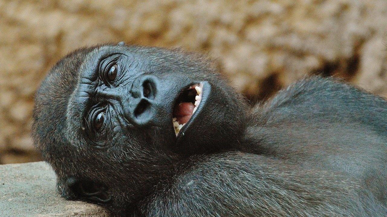 Горили в зоопарк в Атланта сe заразиха с COVID-19