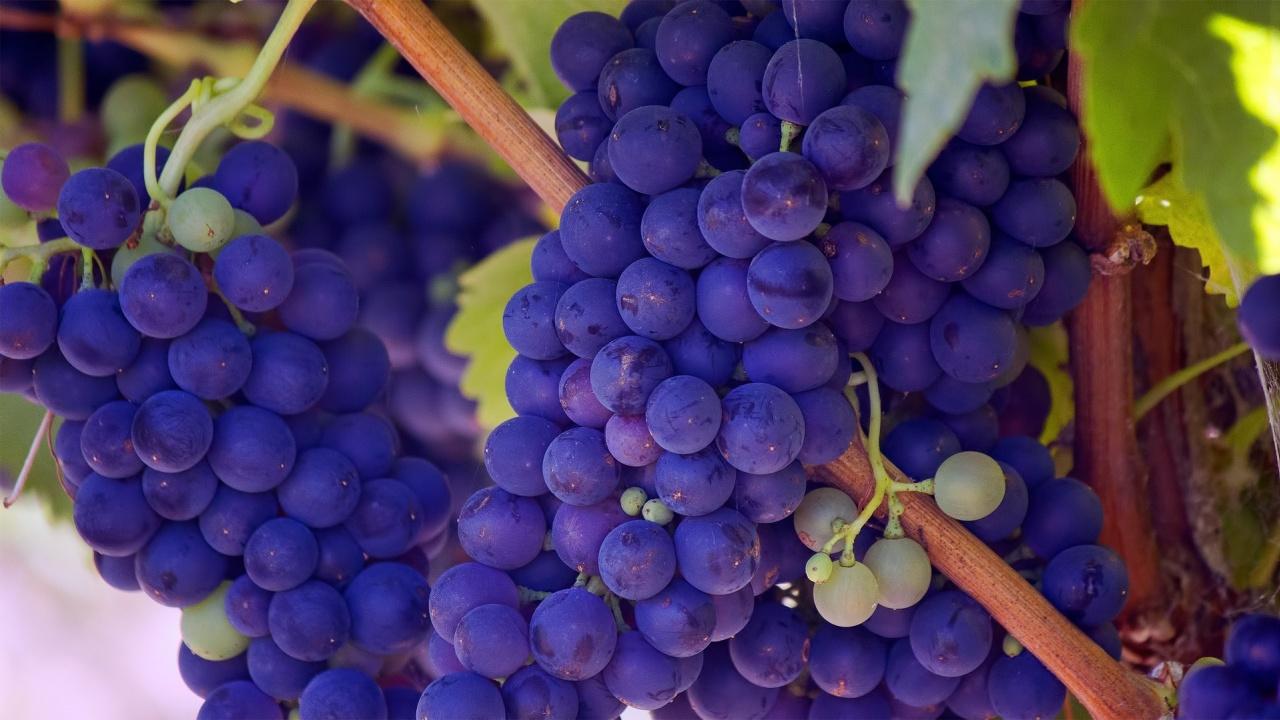 Министър Бозуков ще открие кампанията по гроздобер