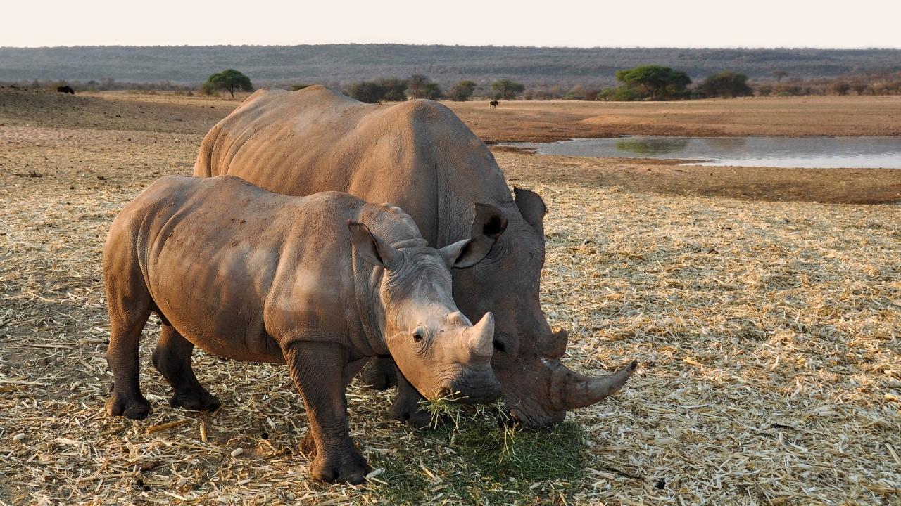Женски носорог загина при опит за чифтосване в зоопарк
