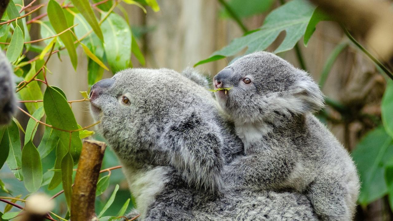 Популацията на коали в Австралия намалява бързо