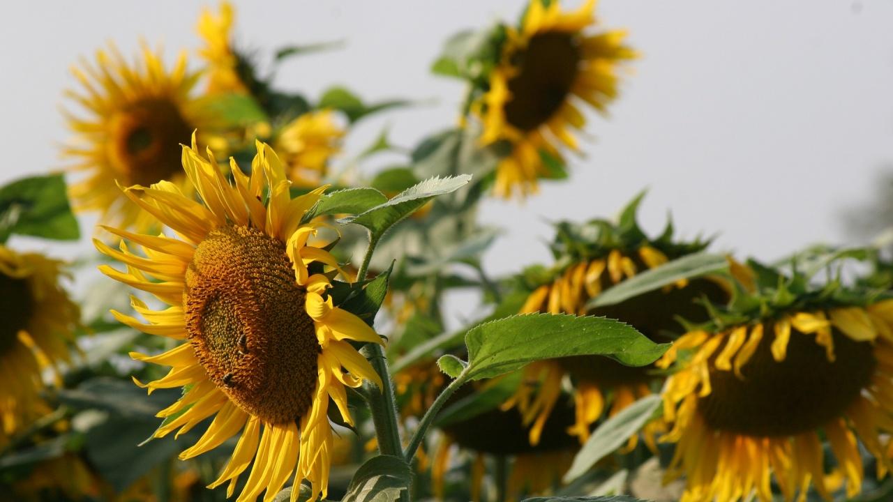 Браншовик: Добрата реколта от слънчоглед в Добруджа няма да коригира цената на поскъпващото олио