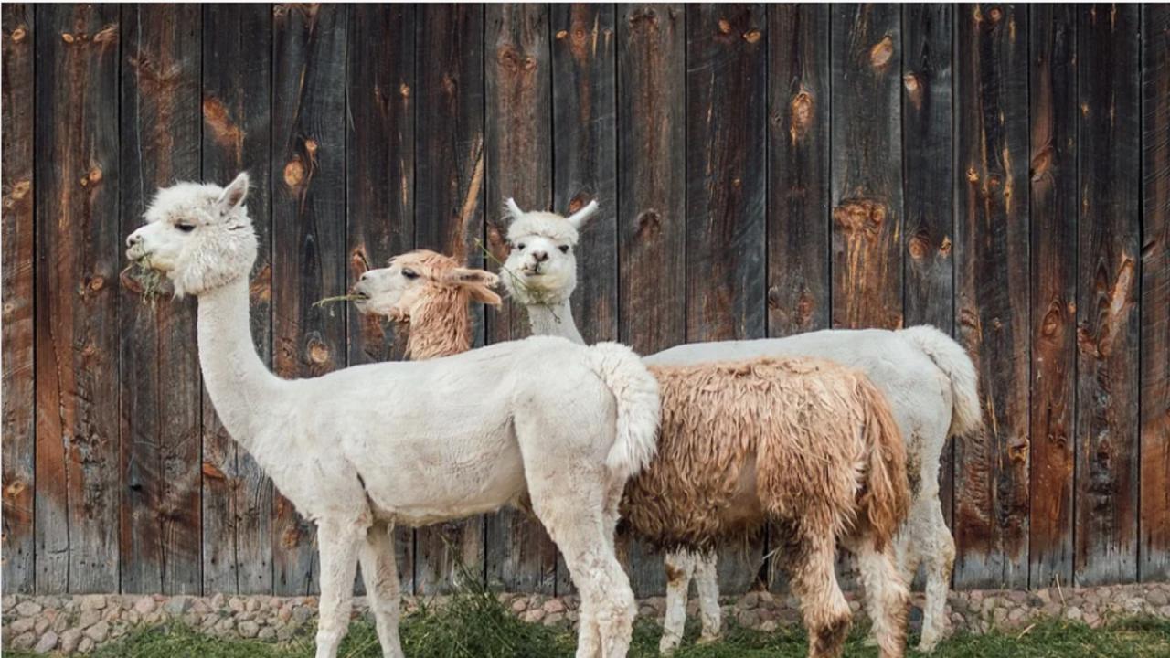 Трио женски алпаки от Южна Америка са новите попълнения в зоопарка в Бургас