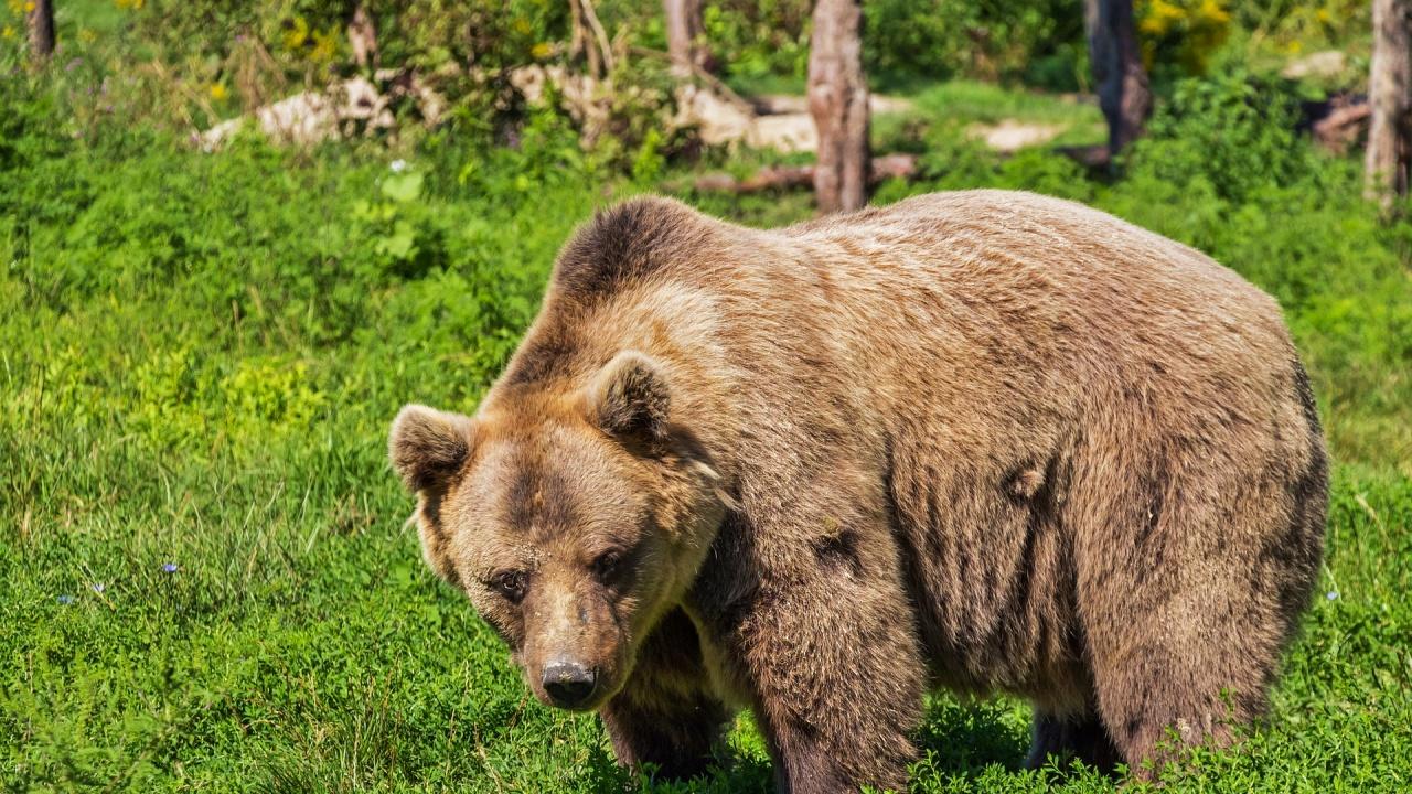 Родопско село е в паника от нападения на мечка в животновъдни обекти