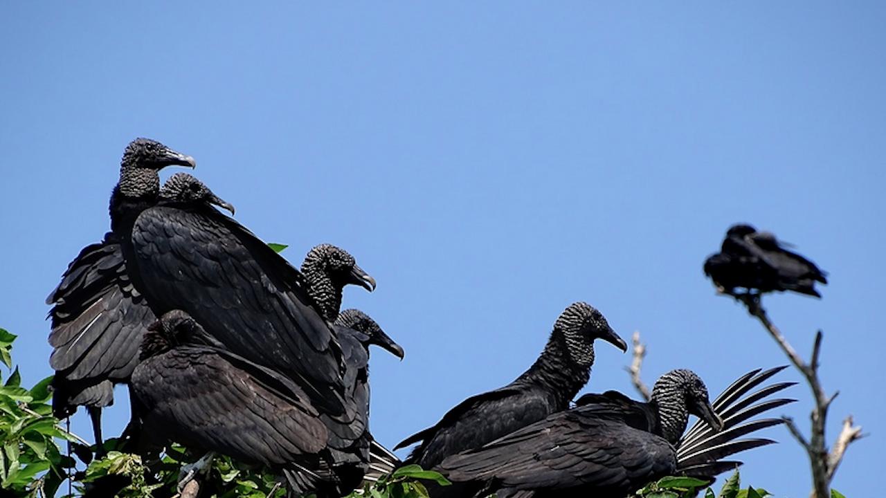 Черният лешояд отново успешно гнезди в България