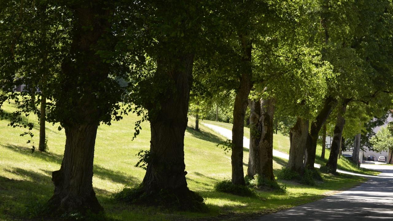 Три вековни дървета в София са обявени за защитени