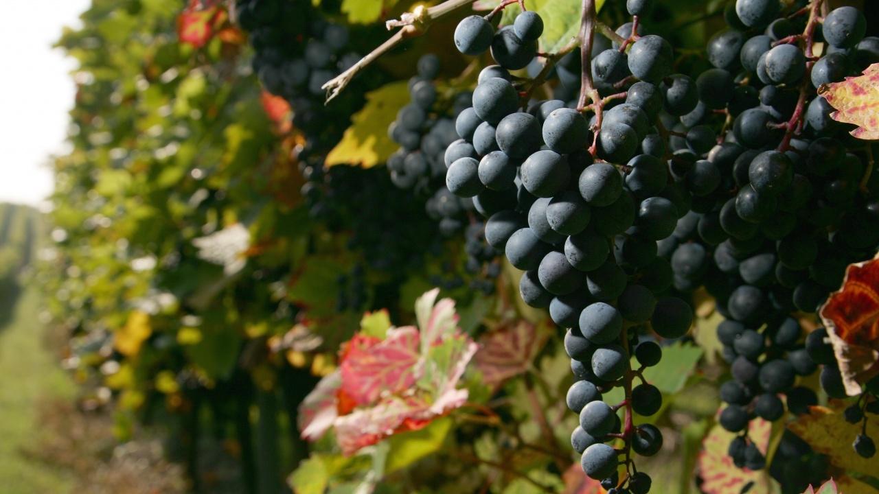 Удължават се някои извънредни мерки за преодоляване на въздействието от COVID-19 в лозаро-винарския сектор
