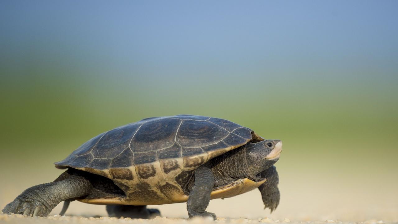 Рядка костенурка с две глави и шест крака живее в Масачузетс