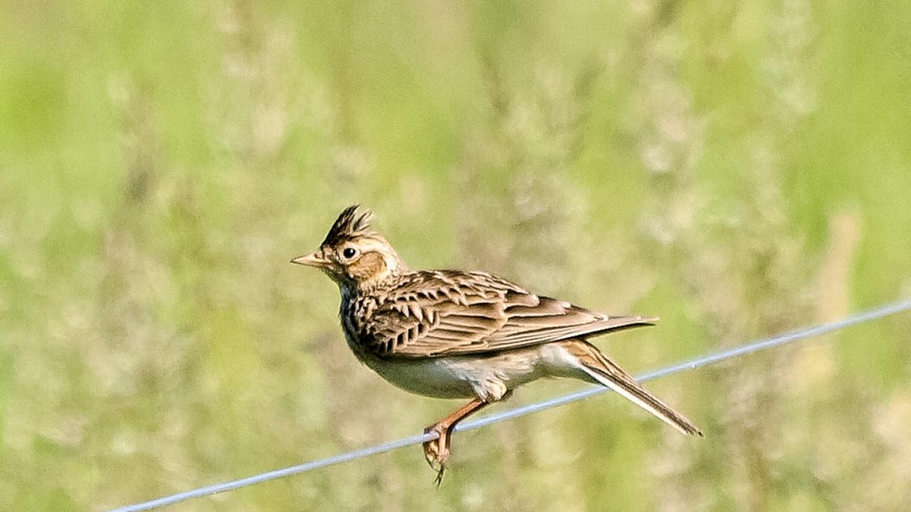 Изчезване застрашава една пета от европейските видове птици
