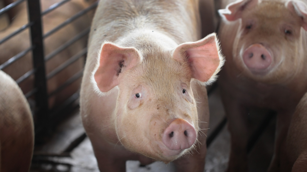 С общо 6 млн. лева се увеличава бюджетът по помощите за хуманно отношение към свине и птици