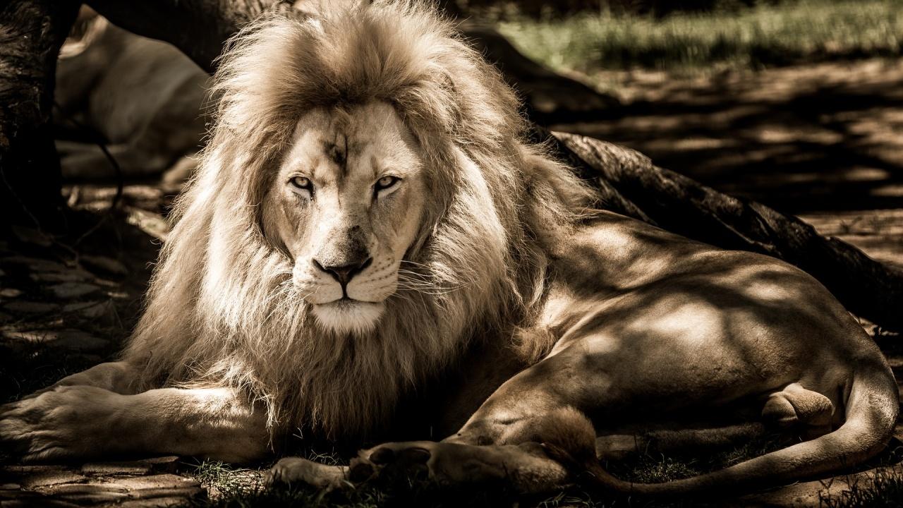 Коронавирусът погуби 13-годишен лъв