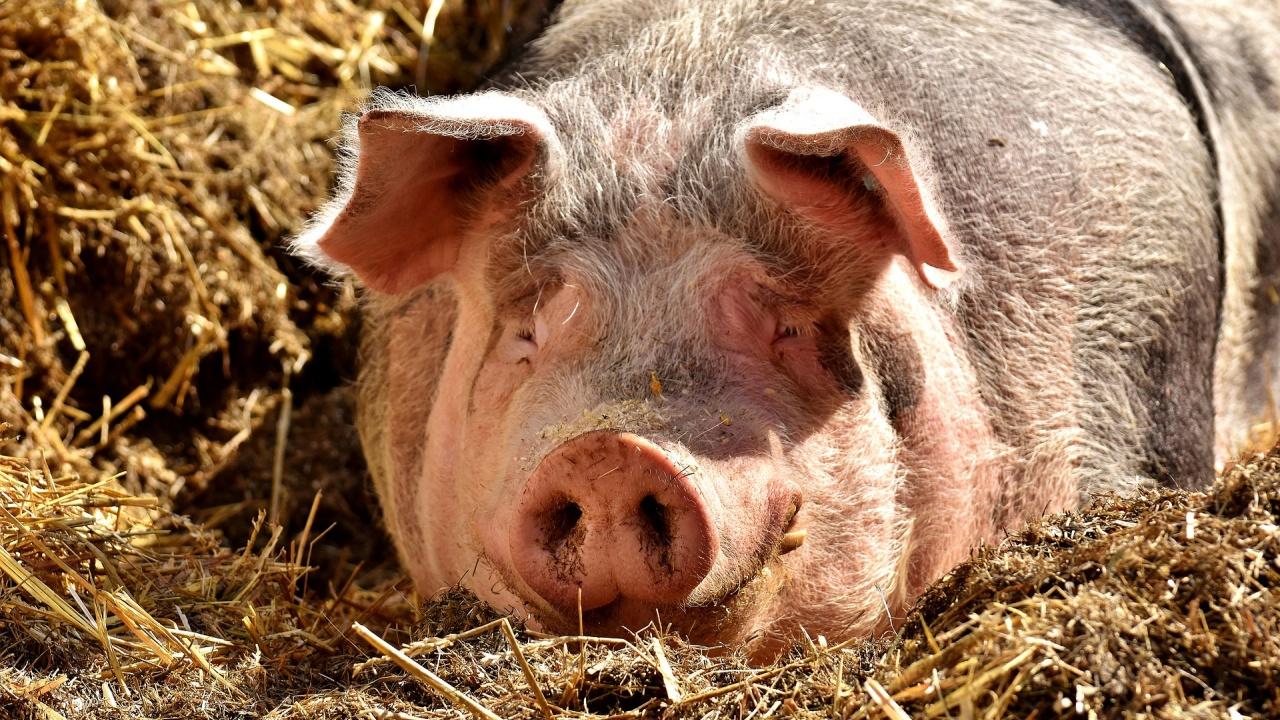 В САЩ трансплантираха свински бъбрек на човек