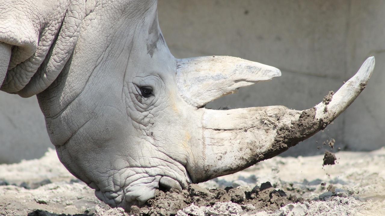 Пенсионираха едната от последните две женски в света от подвид северен бял носорог