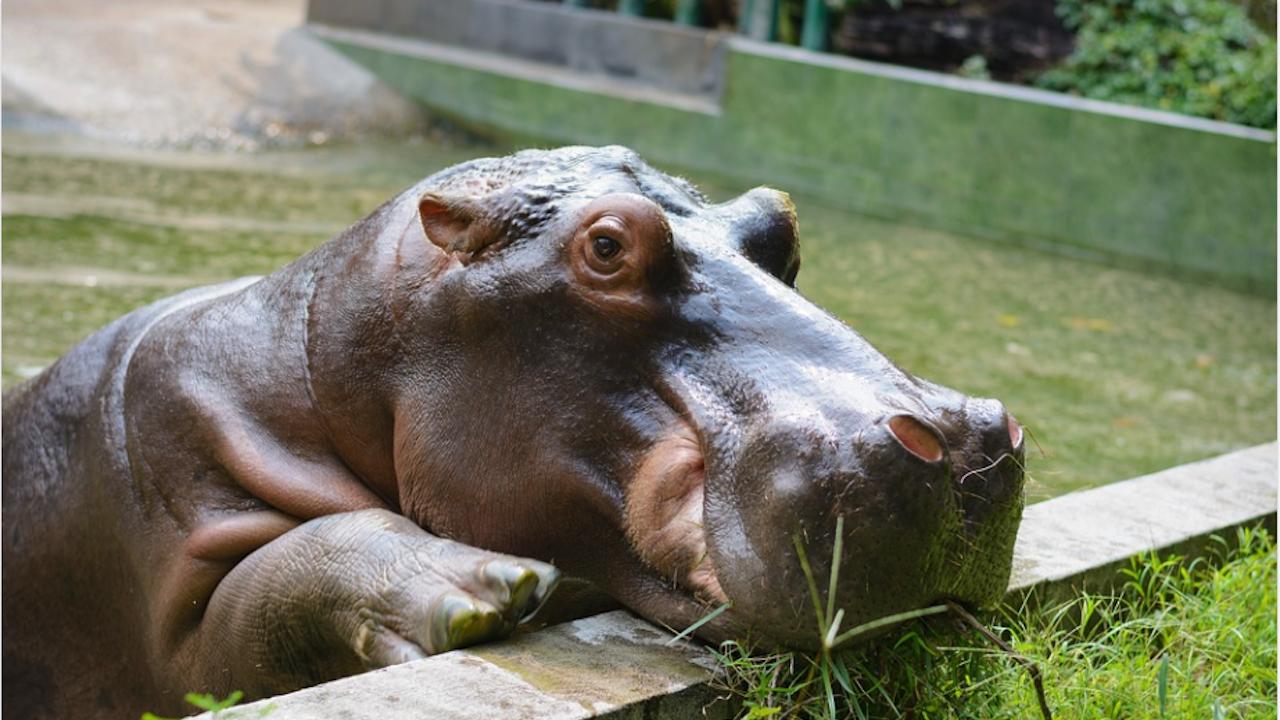 Съд в САЩ даде граждански права на хипопотамите на Пабло Ескобар