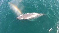 Дрон засне кит, който киха дъга