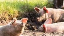 Протестите на собственици на свине продължават